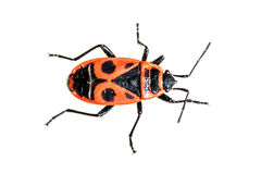 火甲虫 库存图片