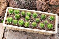 火电厂仙人掌植物小组成长在沙漠, Echinopsis calochlora仙人掌科 免版税库存图片
