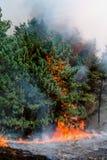 火的具球果森林 免版税库存照片