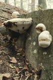 火种真菌 免版税图库摄影