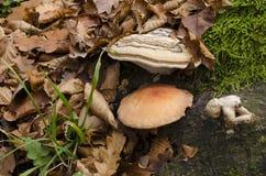 火种蘑菇 免版税库存图片