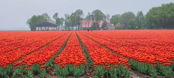 火红和桔黄色郁金香的领域 免版税库存照片