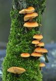 火菇菌素小腿velutipes天鹅绒 免版税库存图片