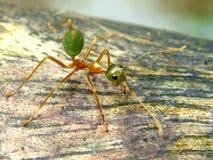 火蚂蚁 免版税库存照片
