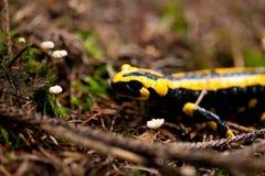 火蝾蝾虫原特写镜头在室外的森林里 免版税库存图片