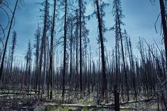 死的森林在黄石 库存图片