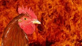 火雄鸡画象 库存图片