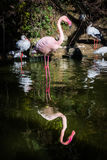 火鸟一腿死水桃红色反射相称池塘L 库存照片