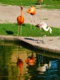 火鸟加勒比和火鸟智利人Phoenicopterus ruber和Phoenicopterus chilensis 库存图片