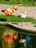火鸟加勒比和火鸟智利人Phoenicopterus ruber和Phoenicopterus chilensis 库存照片