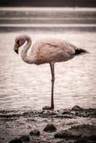 火鸟单独站立在湖的边缘 库存照片