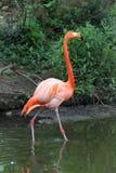 火鸟在圣路易动物园里 库存照片