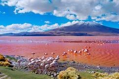 火鸟在拉古纳Colorada,玻利维亚 免版税库存图片