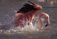 火鸟在水中 库存图片