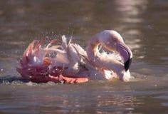 火鸟在水中 图库摄影