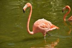 火鸟在池塘 免版税库存图片
