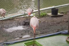 火鸟在泰国庭院里 库存图片