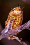 火鸟在软的珊瑚的舌头蜗牛 库存照片