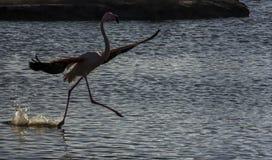 火鸟在Camargue,法国 免版税库存照片