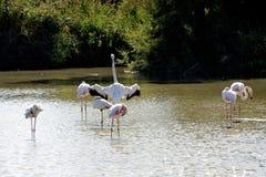 火鸟在Camargue 免版税图库摄影
