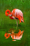 火鸟本质上 火鸟框架绿色留下phoenicopterus纵向ruber 图库摄影