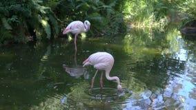 火鸟桃红色动物园 影视素材