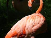 火鸟画象在动物园里在纽伦堡在德国 免版税库存照片