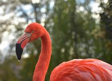 火鸟画象在动物园里 库存照片