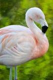 火鸟粉红色 库存照片