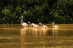 火鸟群变粉红色水 免版税库存图片