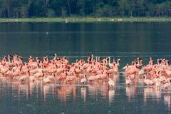 火鸟群变粉红色 Nakuru湖 库存照片