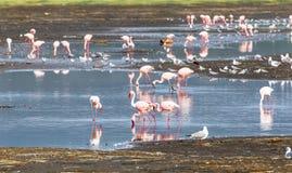 火鸟群在水中 纳库鲁,肯尼亚 免版税库存图片