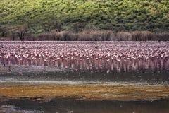 火鸟群在湖的 库存照片