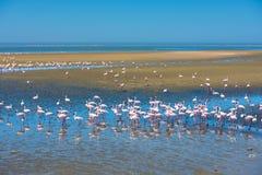 火鸟群在鲸湾港,纳米比亚的 免版税图库摄影
