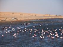 火鸟群在鲸湾港 库存照片