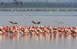 火鸟群从纳库鲁的 肯尼亚 库存照片