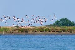 火鸟聚集粉红色 波河盐水湖 免版税库存照片