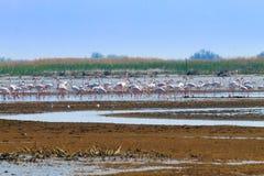 火鸟聚集粉红色 波河盐水湖 库存照片