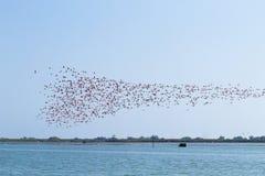火鸟聚集粉红色 波河盐水湖 免版税库存图片