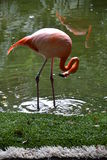 火鸟,桃红色,鸟,热带,尤加坦,墨西哥 图库摄影