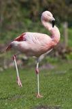 火鸟更加极大的phoenicopterus roseus 图库摄影