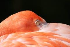 火鸟 免版税库存图片