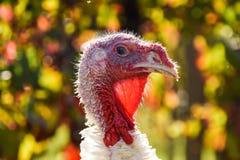 火鸡五颜六色的特写镜头在葡萄园里我 库存图片
