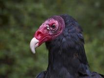 火鸡兀鹰的图象 免版税库存图片