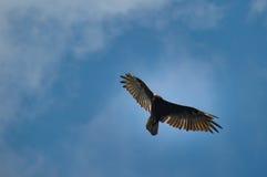火鸡兀鹰,真旗鱼峡谷,南达科他,美国 免版税图库摄影