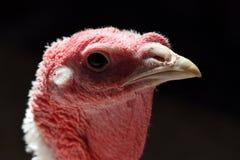 火鸡母鸡的由后面照的画象 免版税库存图片