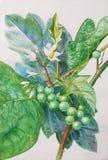 火鸡莓果和绿色叶子绘的原始的现实草本  库存图片
