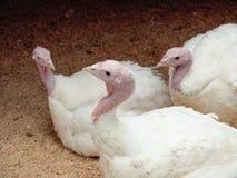 火鸡 品种-英国十字架(大6) 库存图片
