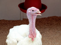火鸡 品种-英国十字架(大6) 免版税库存照片