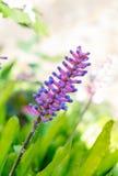 火柴梗Bromeliad, aechmea gamosepala花桃红色和蓝色 免版税库存照片
